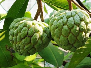 Sugar-apple-custard-apple